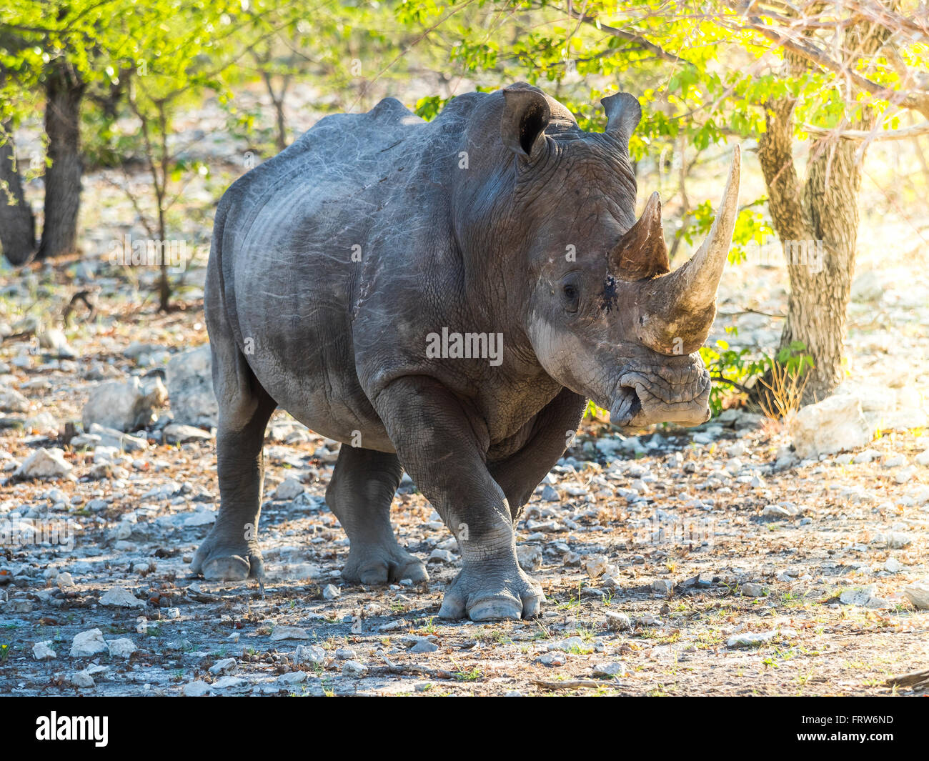 Namibia, Outjo, Ongava Wild Reservat, wide-mouthed rhinoceros - Stock Image