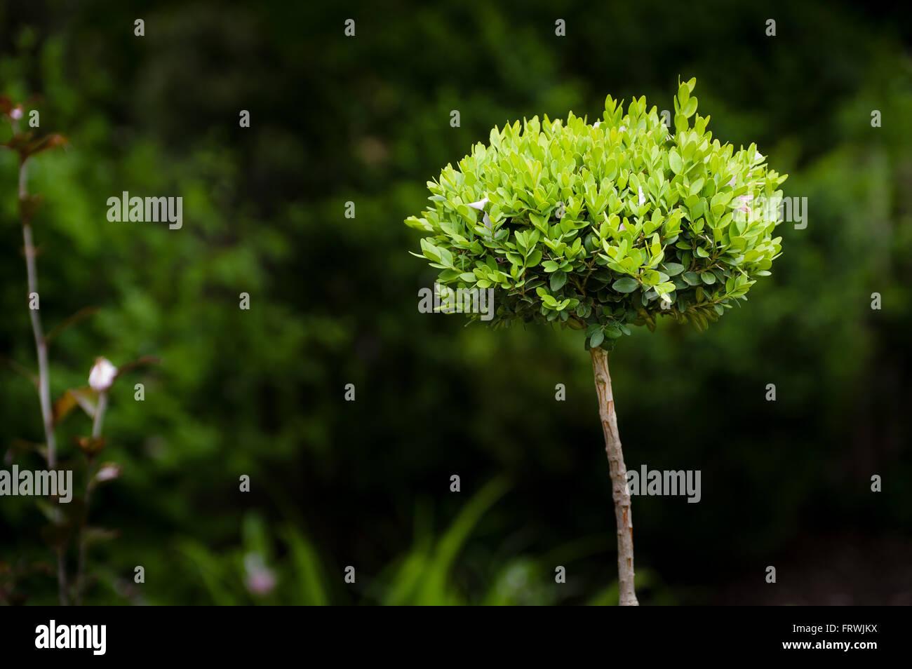 New leaves flourish on a small ornamental bushStock Photo