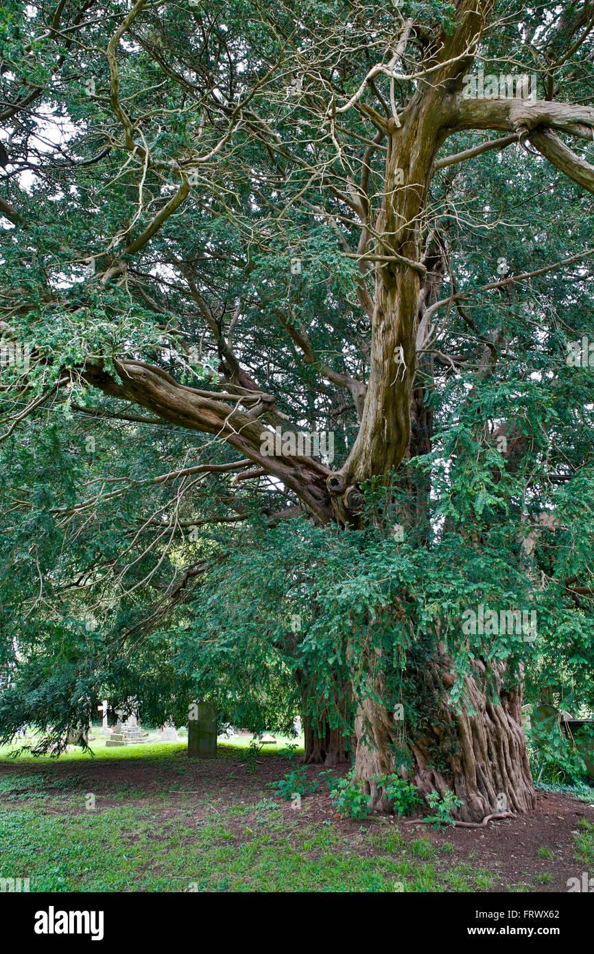 Lower Breinton; Yew Tree; Herefordshire; UK - Stock Image