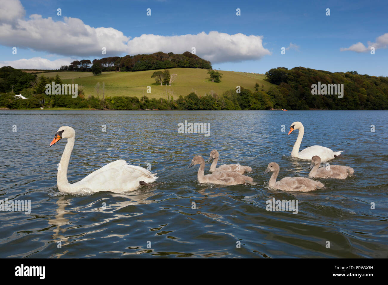 Mute Swan; Cygnus olor Family Group; Two Adults; Four Cygnets Cornwall; UK - Stock Image