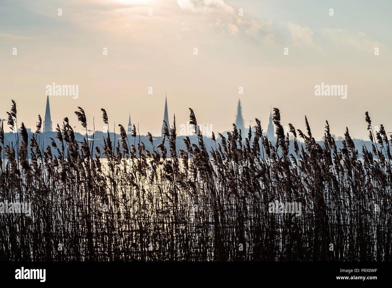 High grass against Hamburg silhouette at dawn - Stock Image