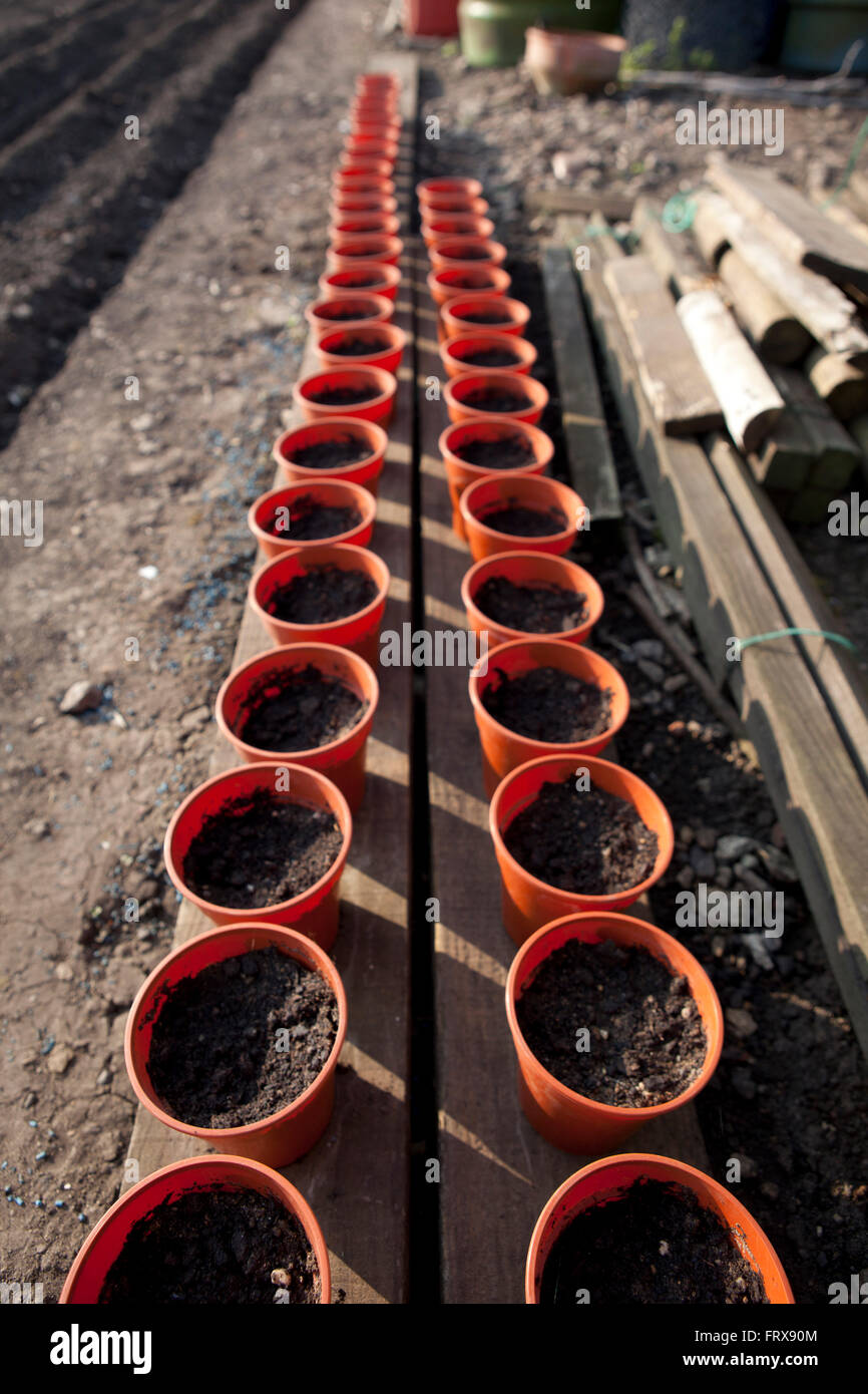 Plant pots laid out in straight regimented well ordered lines on an alootment ready for planting out seedlings in - Stock Image