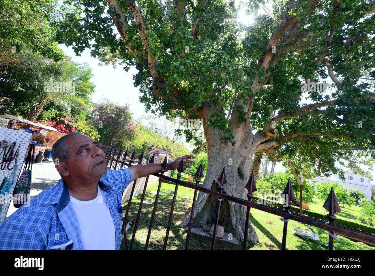 Fig tree in Jericho, Palestine near Israel - Stock Image