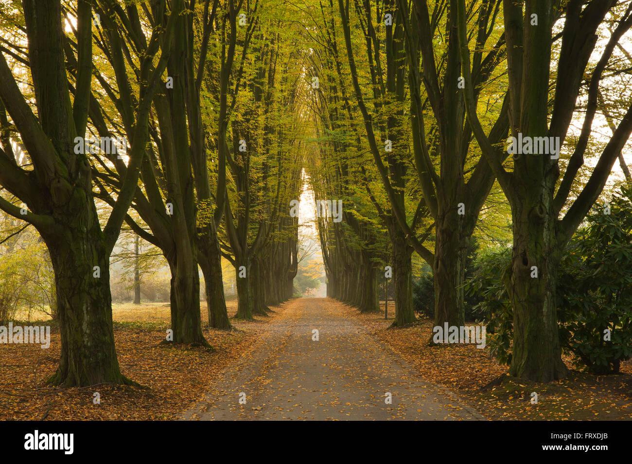 Hornbeam alley, Dortmund, North Rhine-Westphalia, Germany - Stock Image