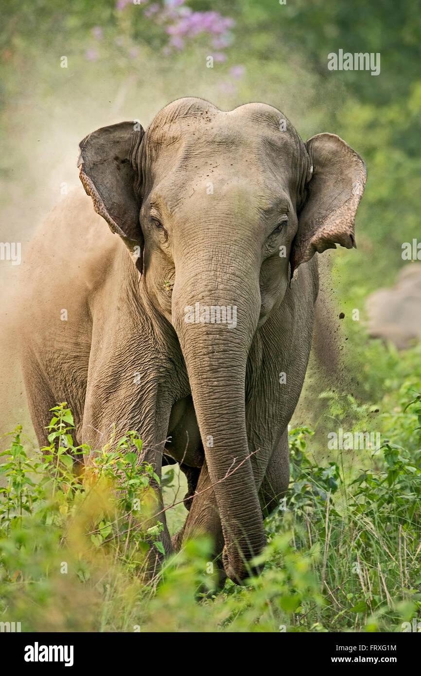 angry elephant charging - Stock Image