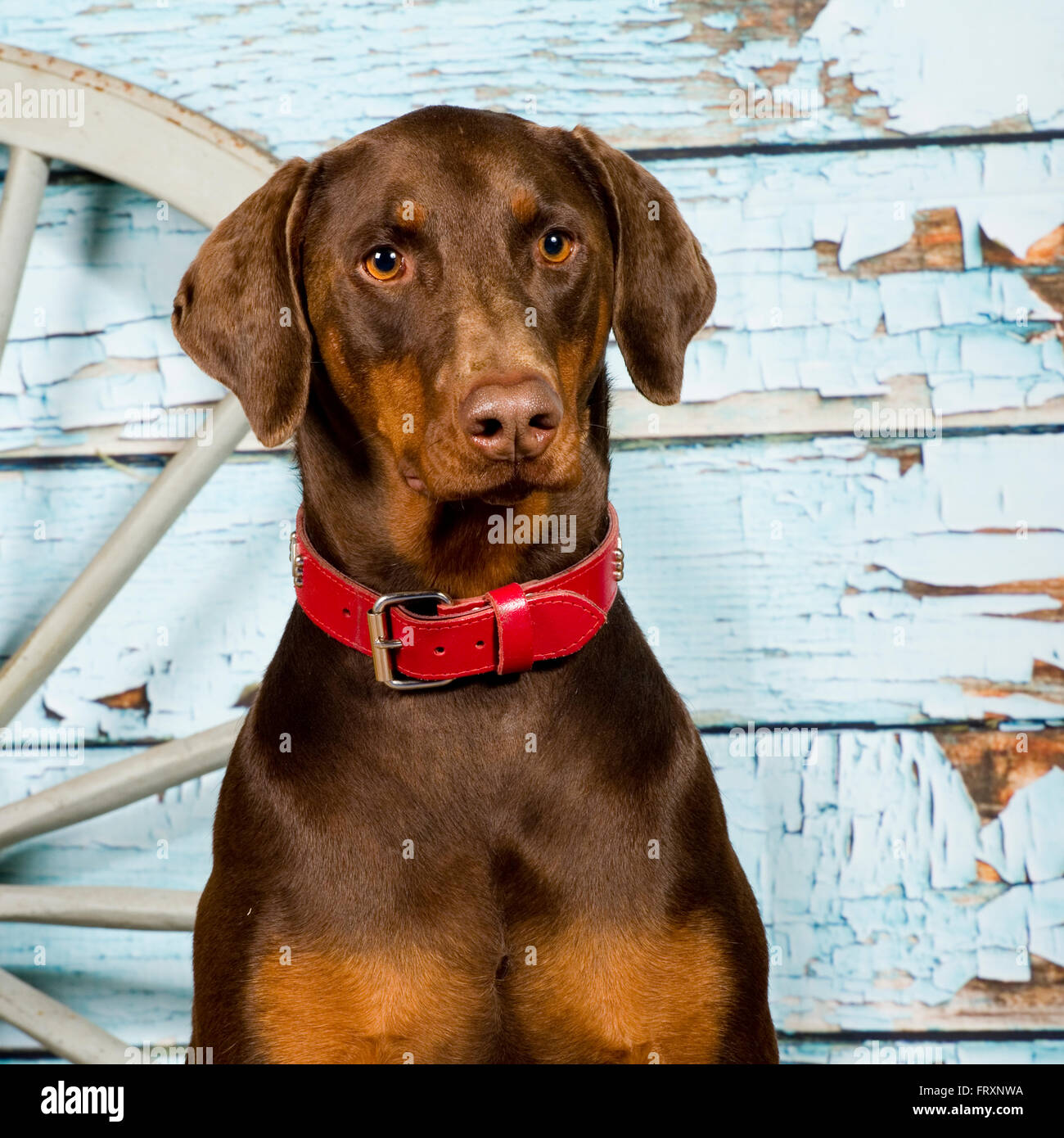 dobermann, doberman pinscher - Stock Image