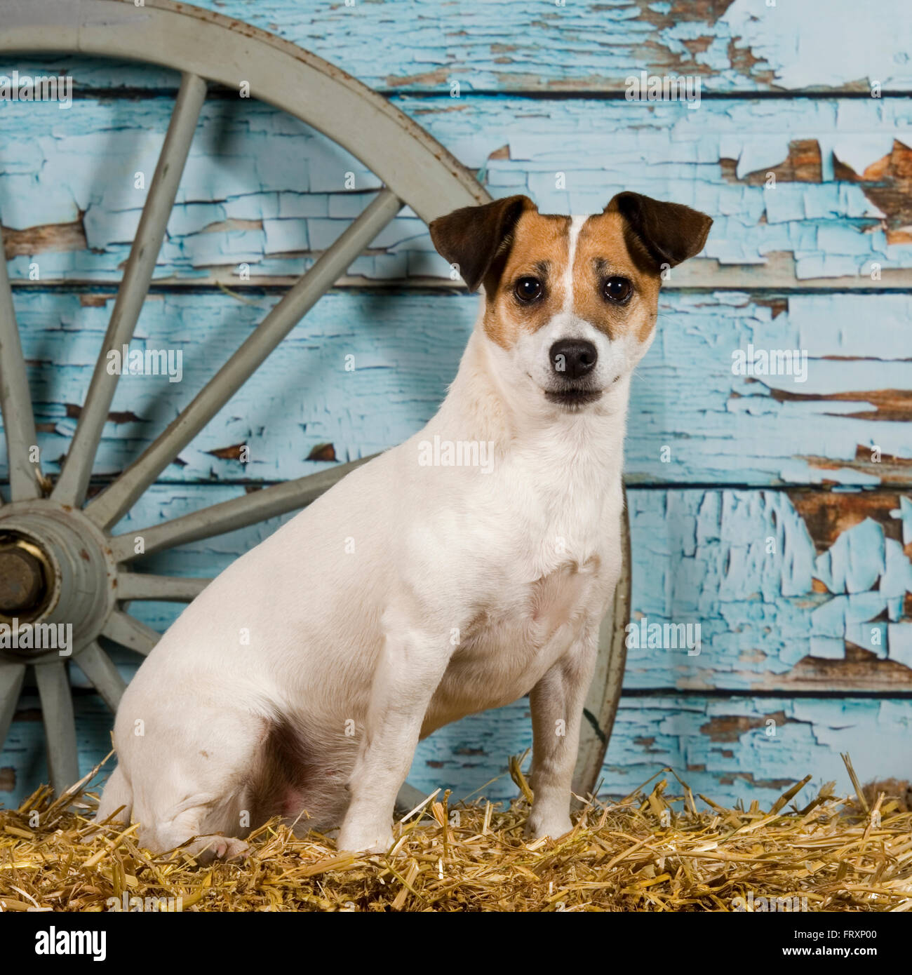 Working Jack Russell Terrier Stock Photos & Working Jack Russell ...