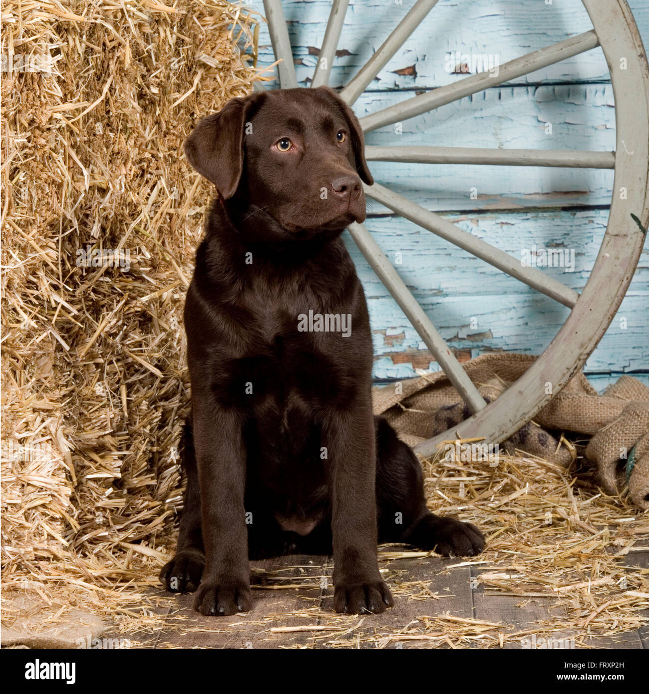 labrador retriever, chocolate puppy - Stock Image