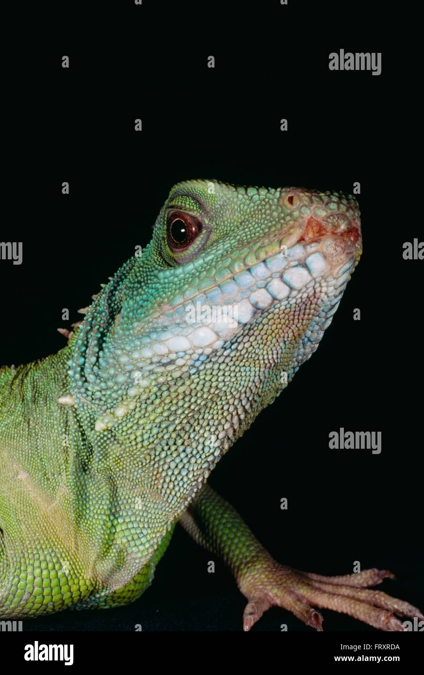 Portrait of a Young Green Iguana - Stock Image