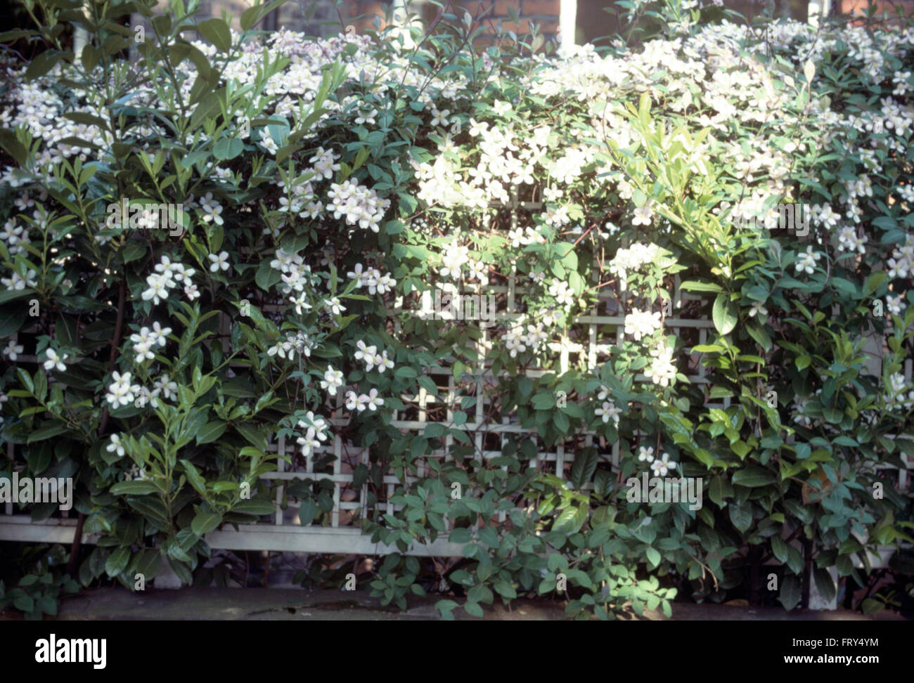 Clematis On Trellis High Resolution Stock Photography And Images Alamy