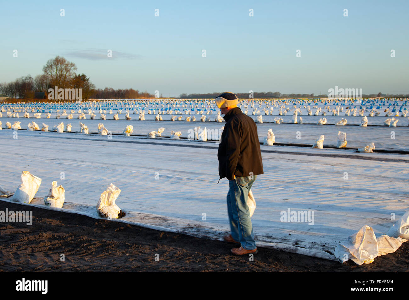 Burscough, Lancashire, UK 25th March, 2016.  UK Weather.  A landscape being covered in white fleece as farmers use - Stock Image