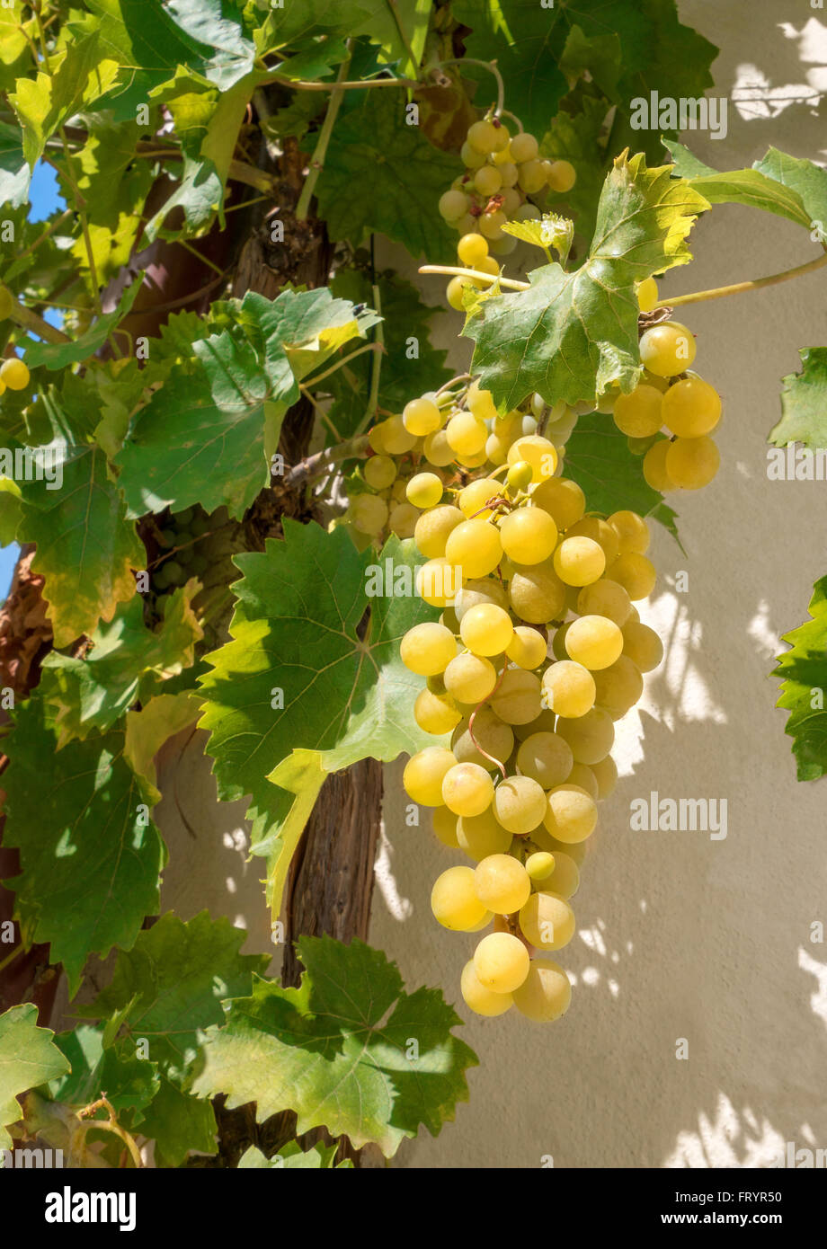 Grape Vine Wall Stock Photos & Grape Vine Wall Stock Images - Alamy