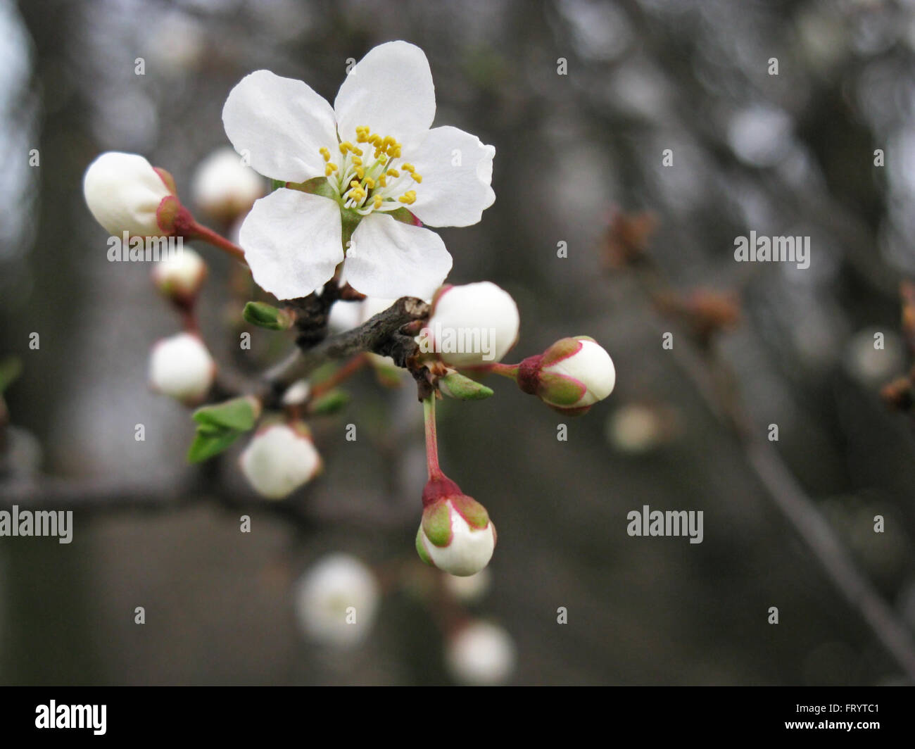 Fruit tree blossoms in spring. - Stock Image