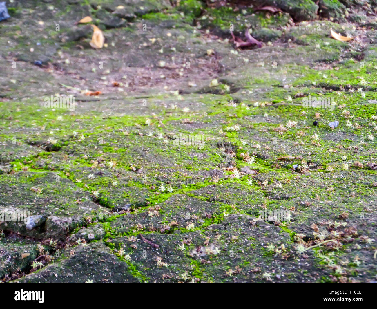 pollen and flower fall on moss surface at stone in forest - Stock Image
