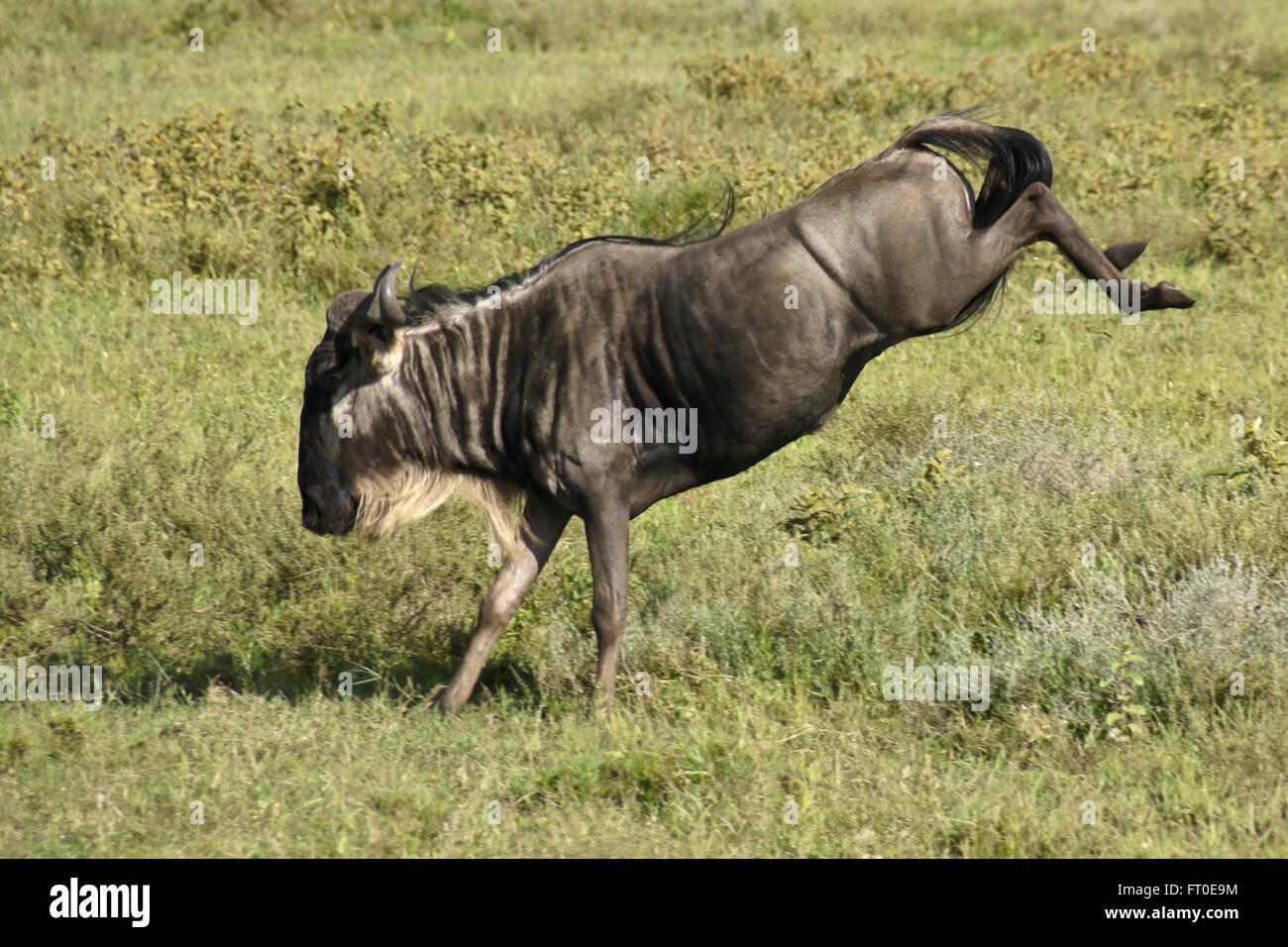 Wildebeest kicking up its heels, Ngorongoro Conservation Area (Ndutu), Tanzania - Stock Image