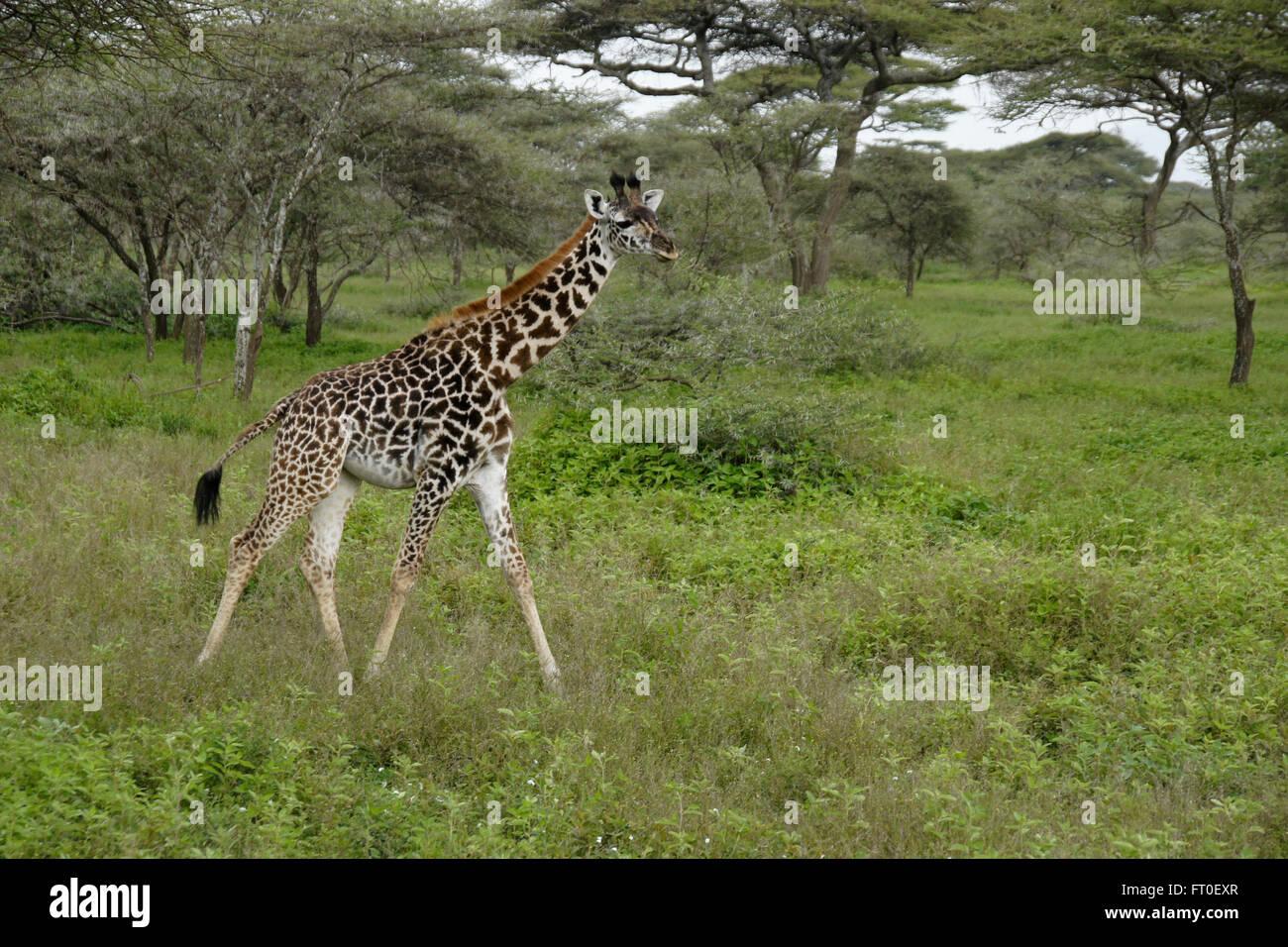 Young Masai giraffe among acacia trees, Ngorongoro Conservation Area (Ndutu), Tanzania - Stock Image