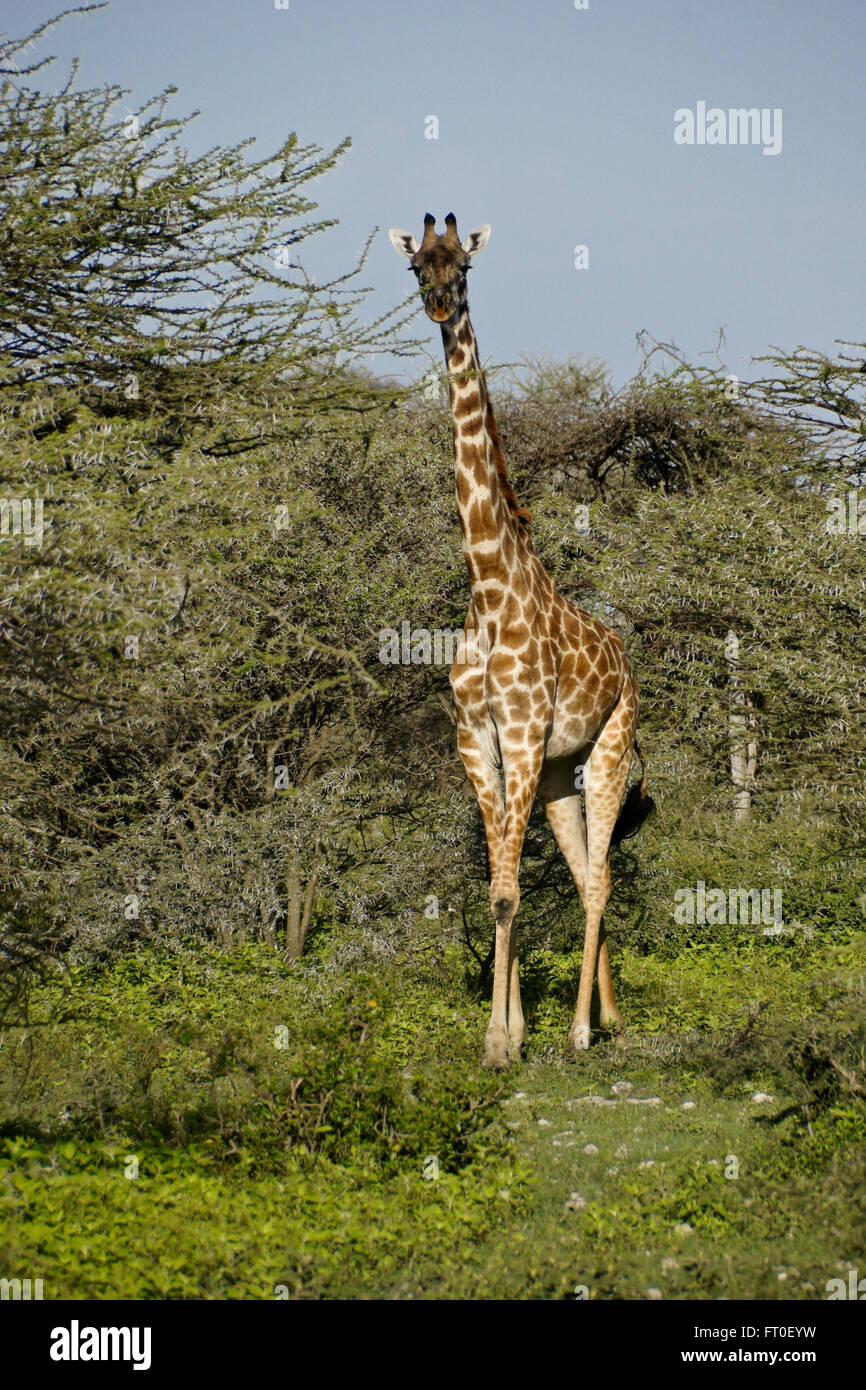 Masai giraffe among acacia trees, Ngorongoro Conservation Area (Ndutu), Tanzania - Stock Image