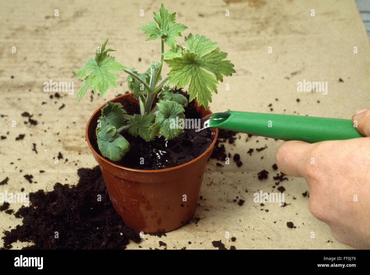 Close-up of a hand watering a small geranium in a pot - Stock Image