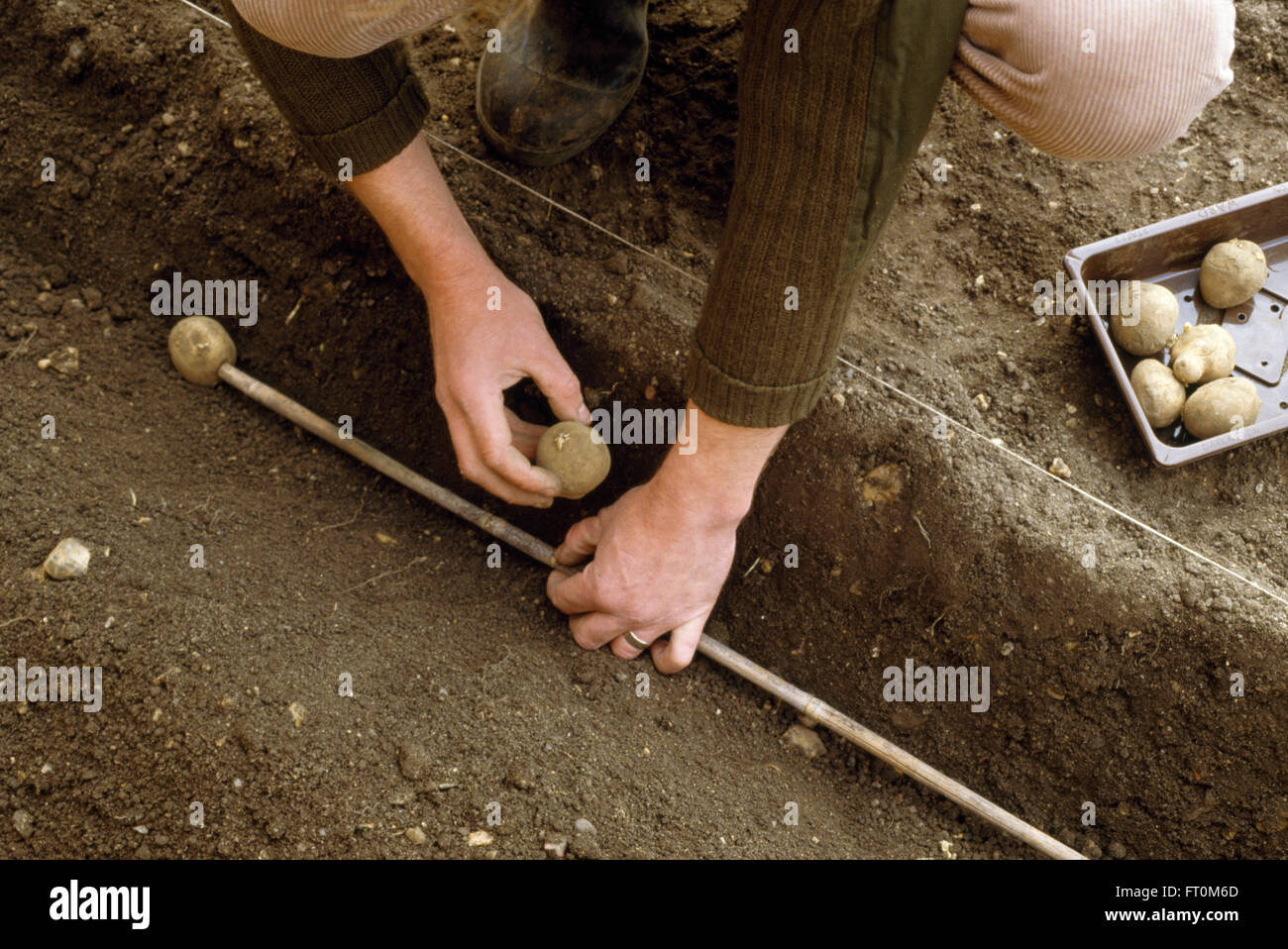 Close-up of a gardener using a bamboo cane to plant a row of potatoes - Stock Image