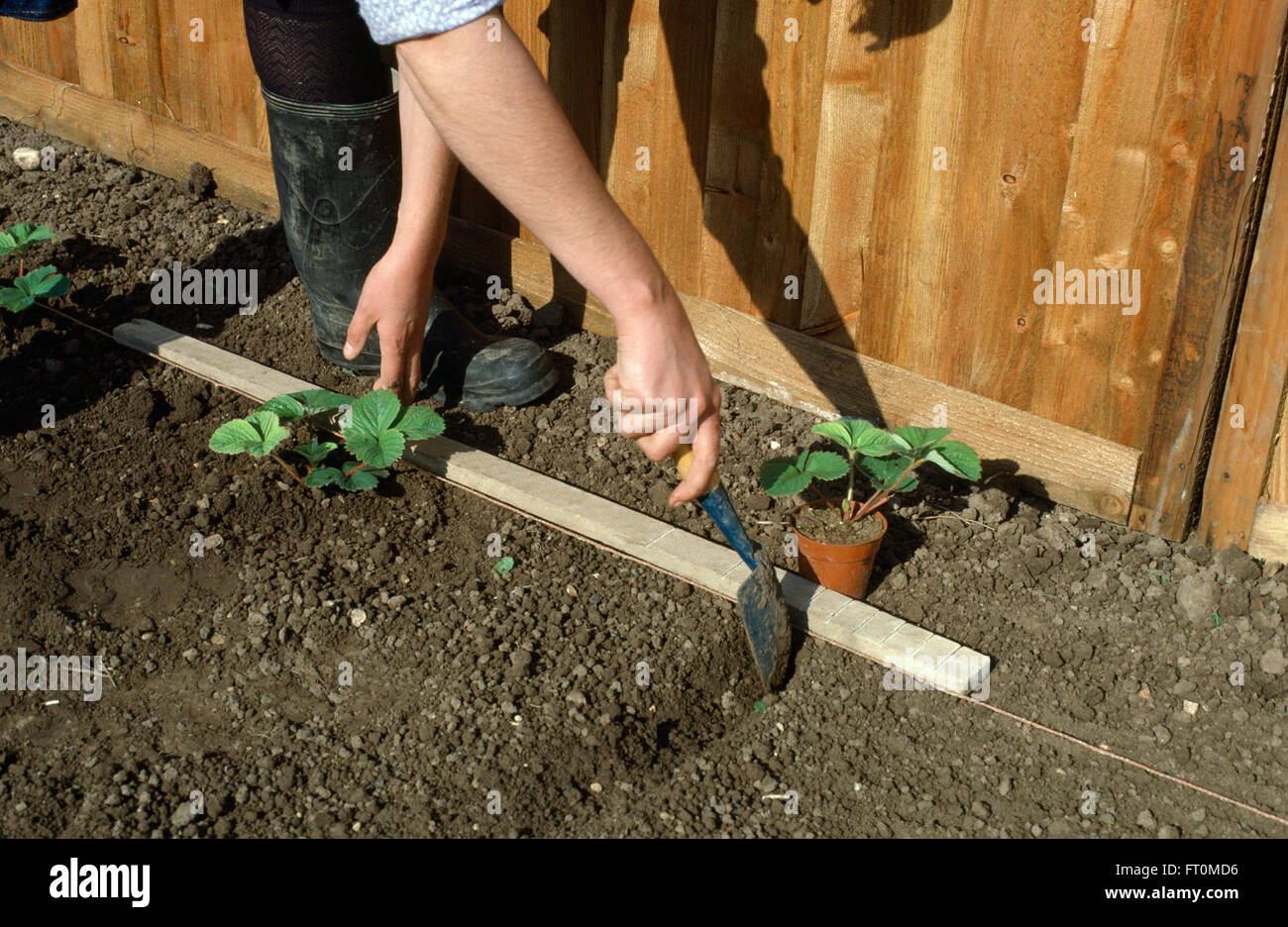 Close-up of a gardener using a wooden stake to mark out bed before planting strawberries - Stock Image