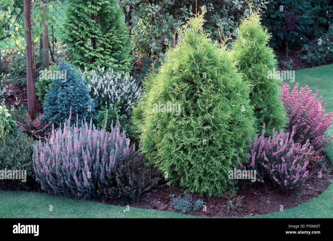 Low growing conifers and mauve heathers in a shrub border - Stock Image