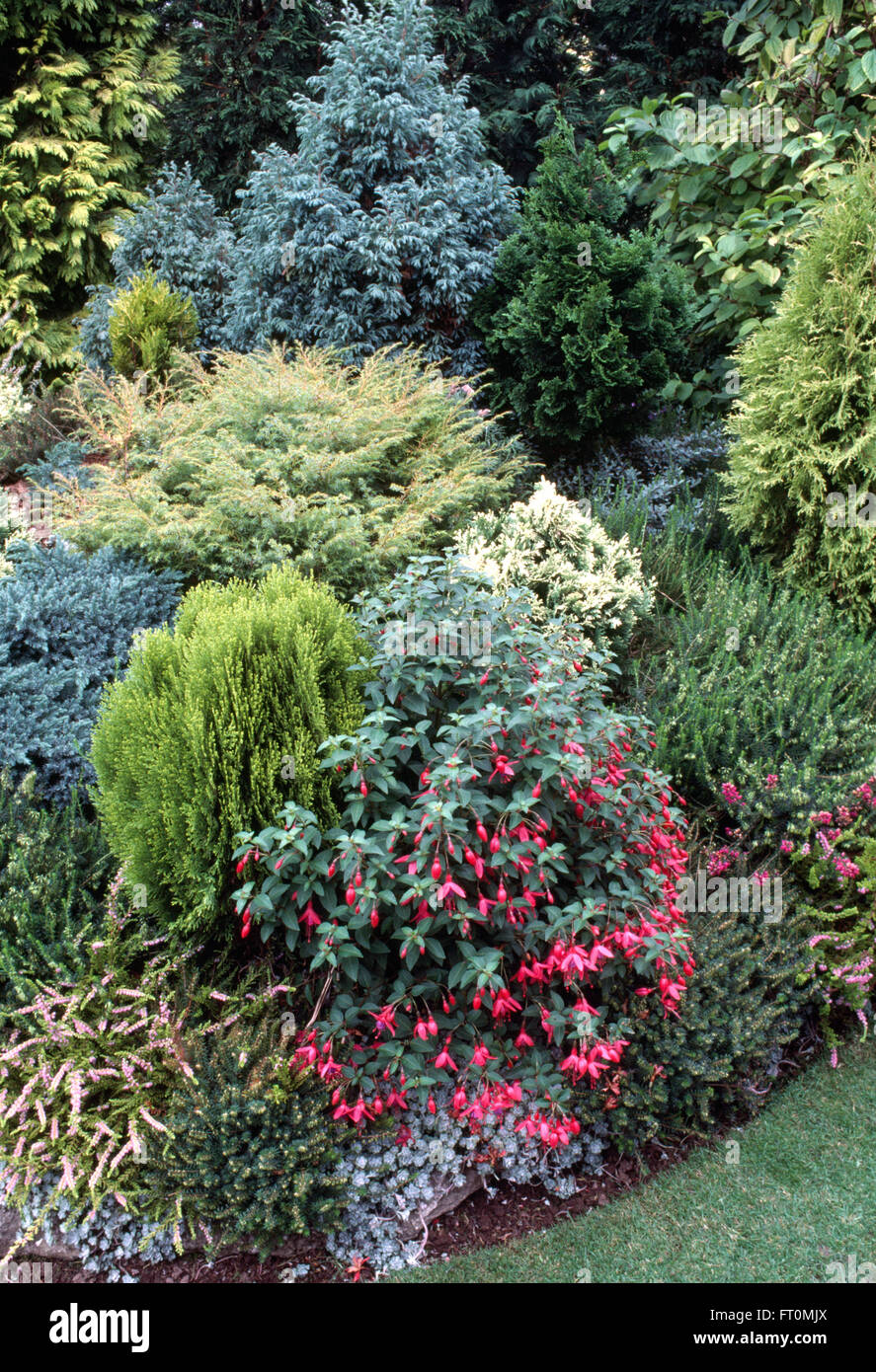 Pink fuchsia and low growing conifers in a well stocked border in a suburban garden - Stock Image