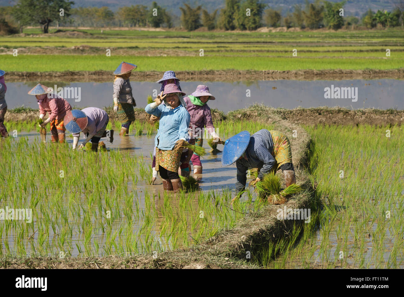 Women working in the rice paddy fields near Kyaing Tong, Kentung, Shan State, Myanmar, Burma Stock Photo