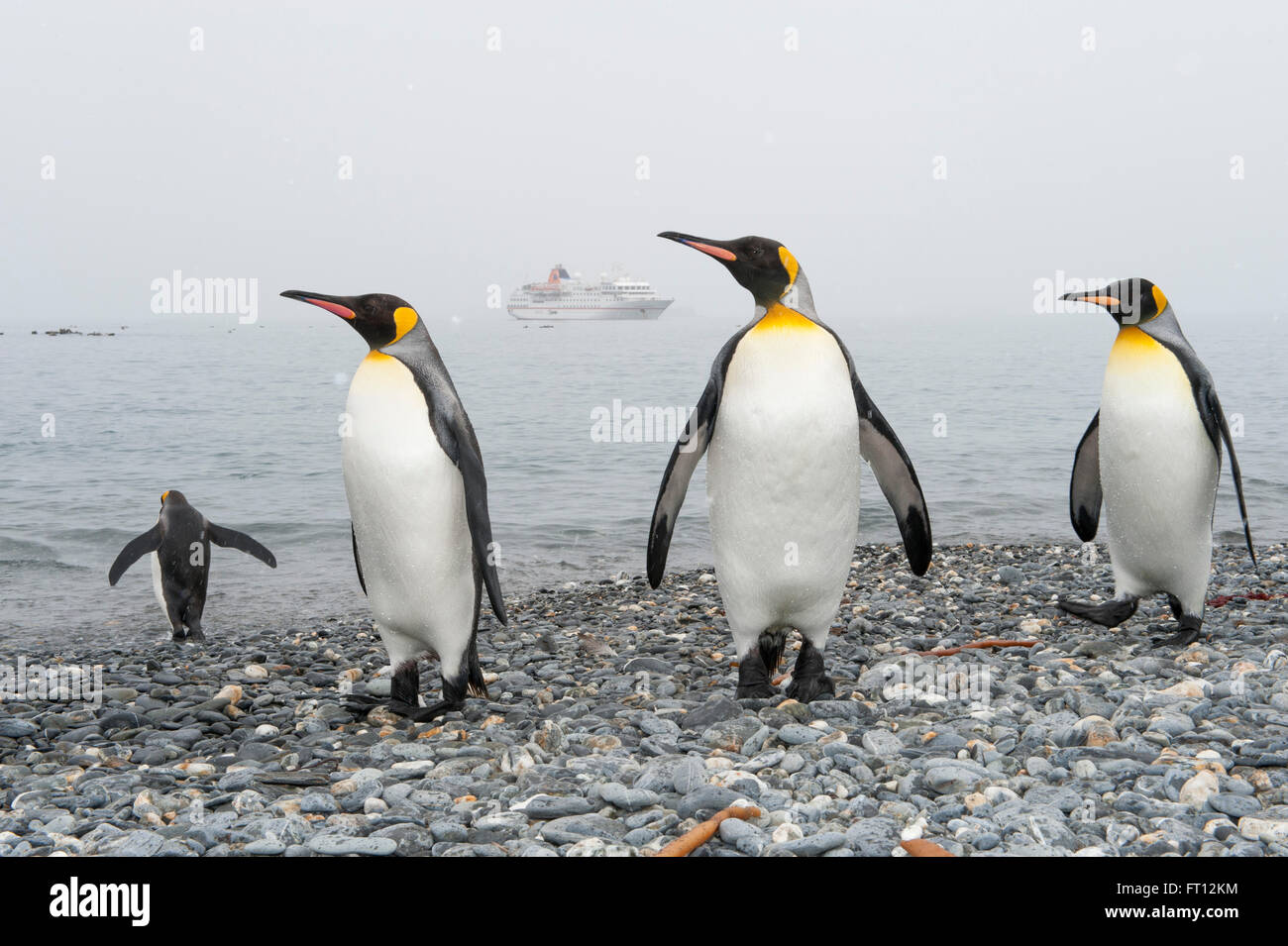 King Penguins Aptenodytes patagonicus on the beach and expedition cruise ship MS Hanseatic Hapag-Lloyd Cruises at - Stock Image