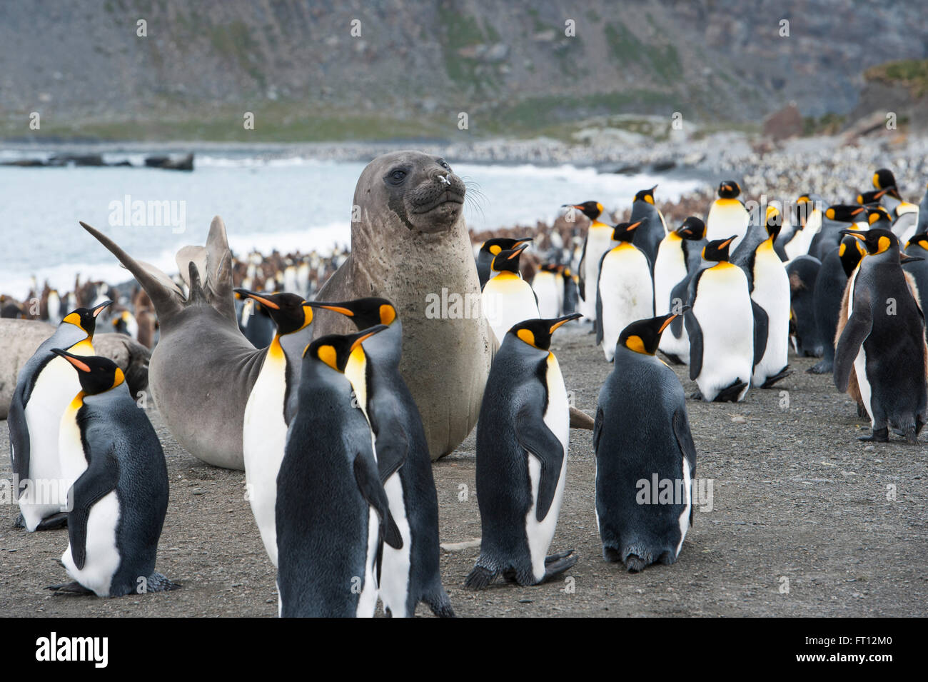 A sea lion amidst a large group of Emperor Penguins Aptenodytes forsteri on beach, Gold Harbour, South Georgia Island, - Stock Image