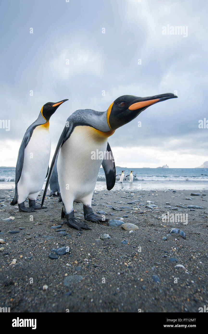 King Penguins Aptenodytes patagonicus on a beach, Salisbury Plain, South Georgia Island, Antarctica - Stock Image