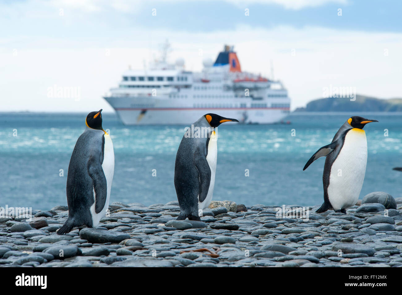 Three King Penguins Aptenodytes patagonicus and the expedition cruise ship MS Hanseatic Hapag-Lloyd Cruises, Salisbury - Stock Image