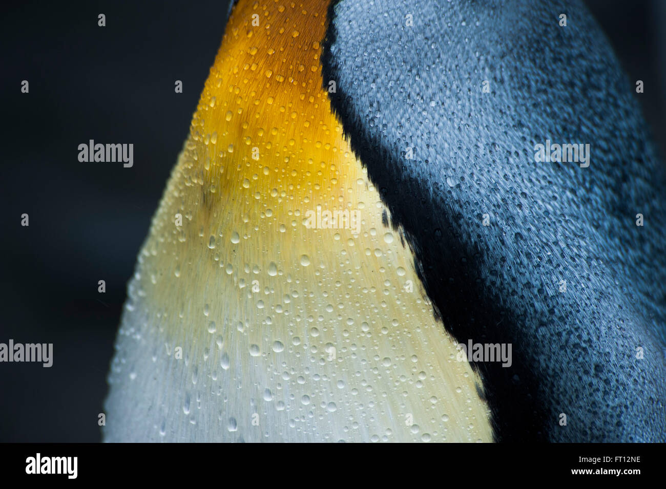 Detail of King Penguin Aptenodytes patagonicus fleece, Gold Harbour, South Georgia Island, Antarctica Stock Photo