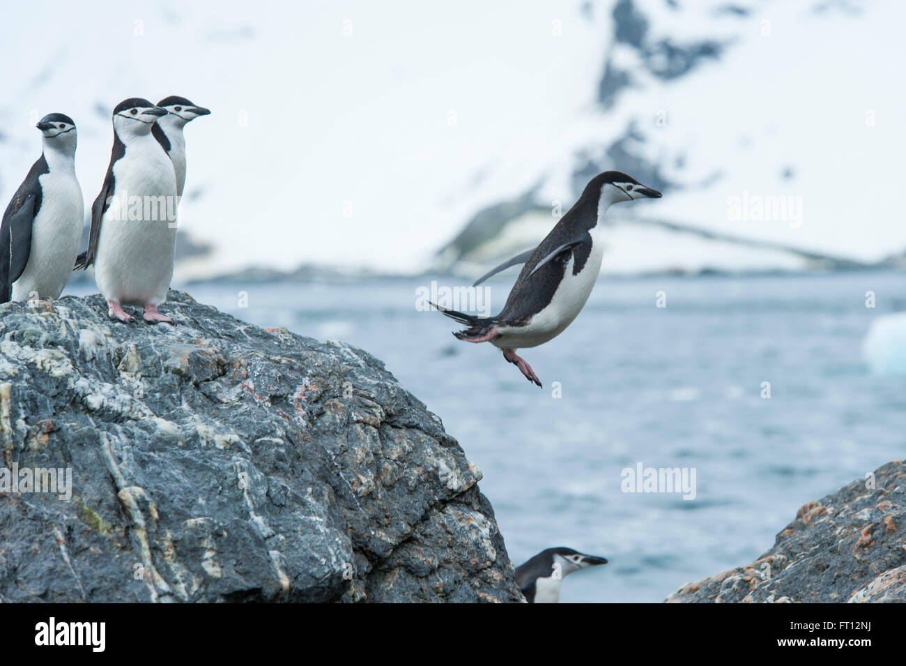 A Chinstrap Penguin Pygoscelis antarctica jumping from a rock into the sea, Monroe Point, South Shetland Islands, - Stock Image