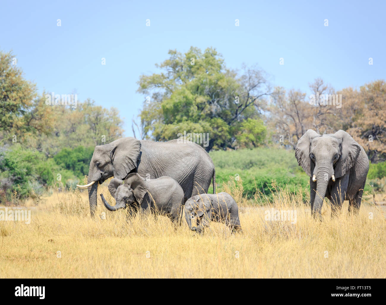 African bush elephant (Loxodonta africana) family grazing, with baby and juvenile elephants in savannah, Sandibe - Stock Image