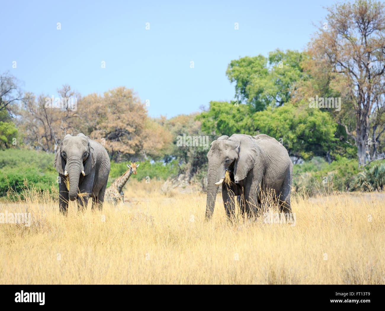 Two African bush elephants (Loxodonta africana) eating grass with giraffe behind, grassland landscape near Sandibe - Stock Image