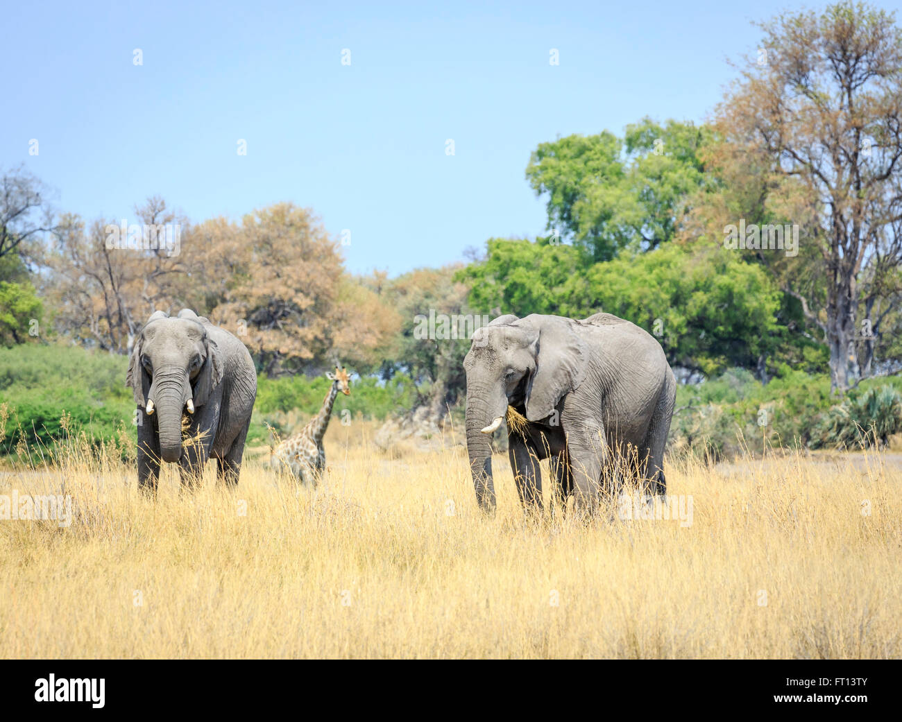 Two African bush elephants (Loxodonta africana) in savannah grassland eating grass, giraffe behind, Sandibe Camp, Stock Photo