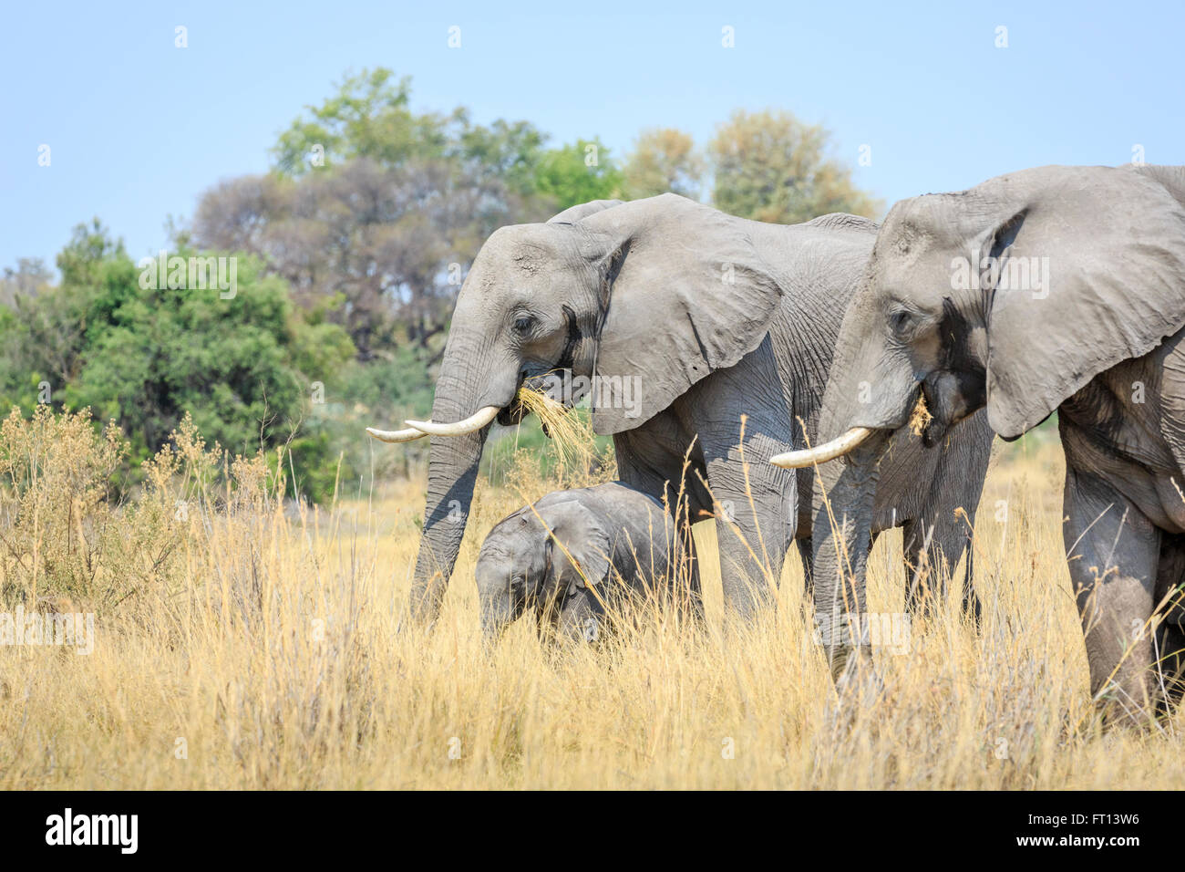 Three African bush elephants (Loxodonta africana), mother, baby and another, Sandibe Camp, Moremi Game Reserve, - Stock Image