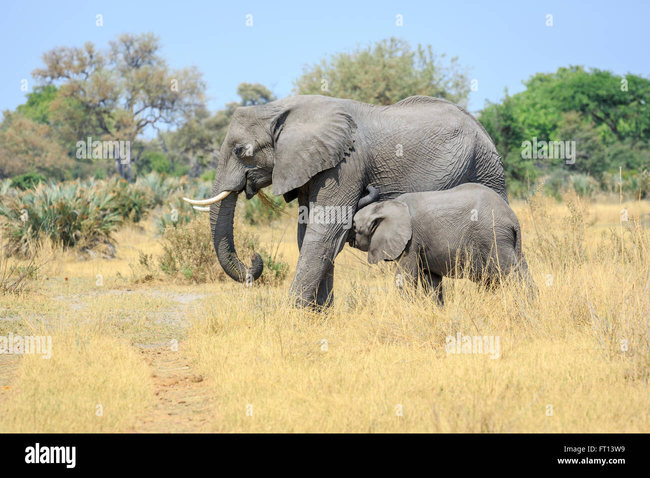 African bush elephants (Loxodonta africana), mother suckling baby, savannah scenery, Sandibe Camp, Moremi Game Reserve, - Stock Image