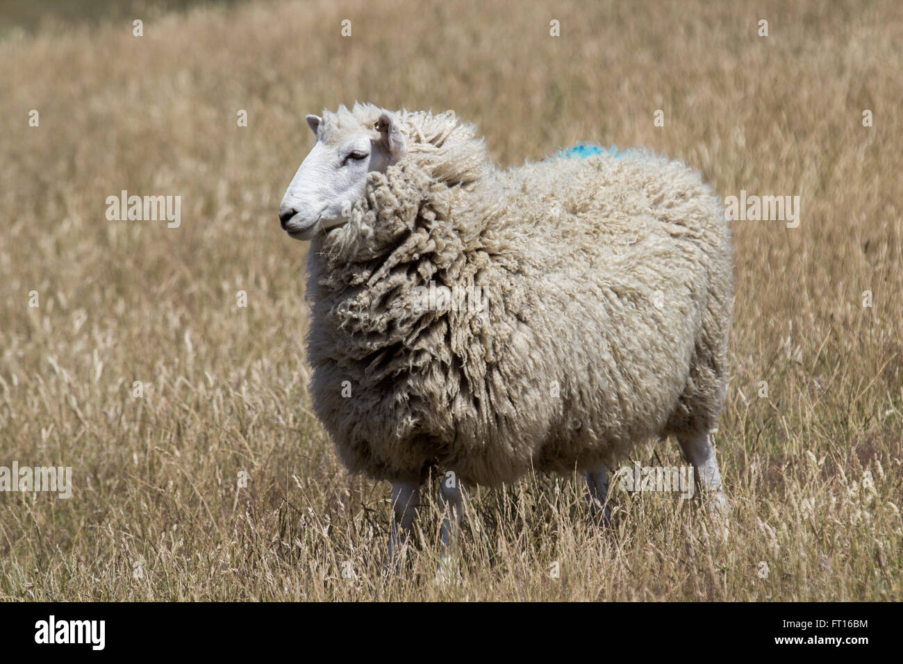 profile of woolly sheep in New Zealand - Stock Image
