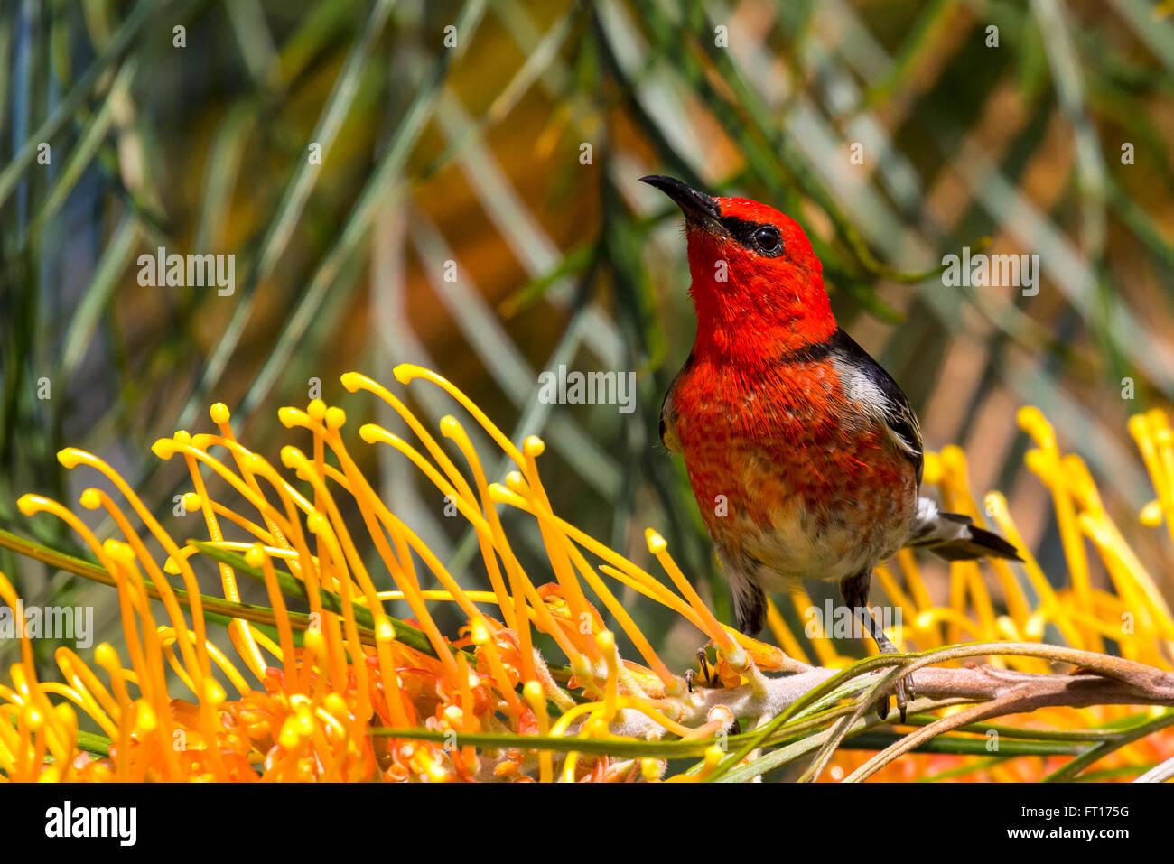 scarlet honeyeater, - Stock Image
