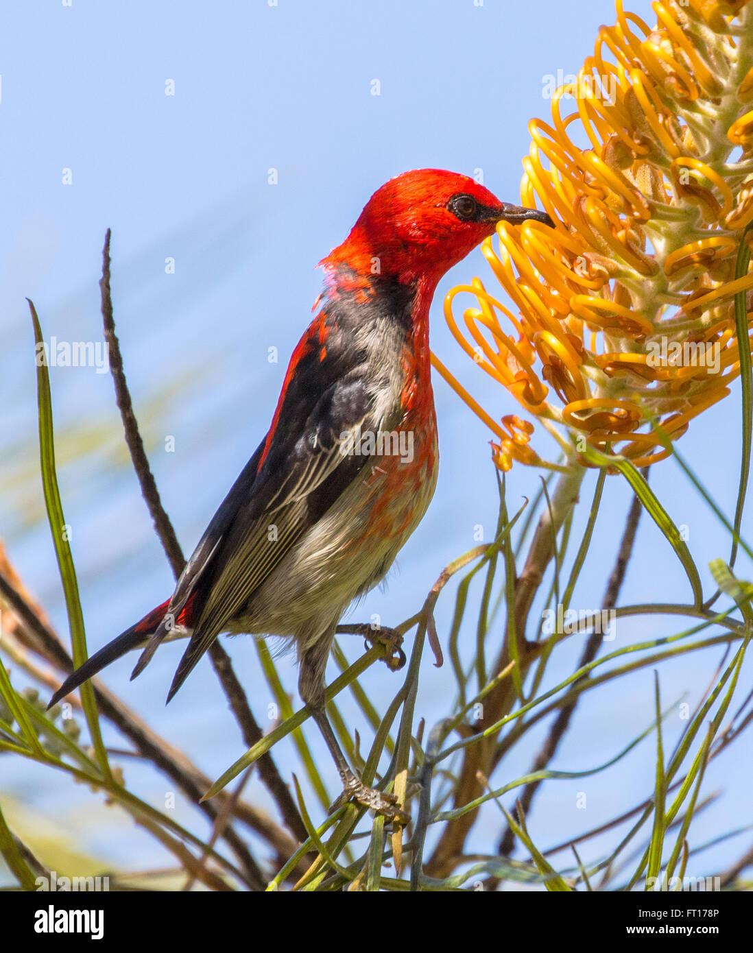 scarlet honeyeater - Stock Image