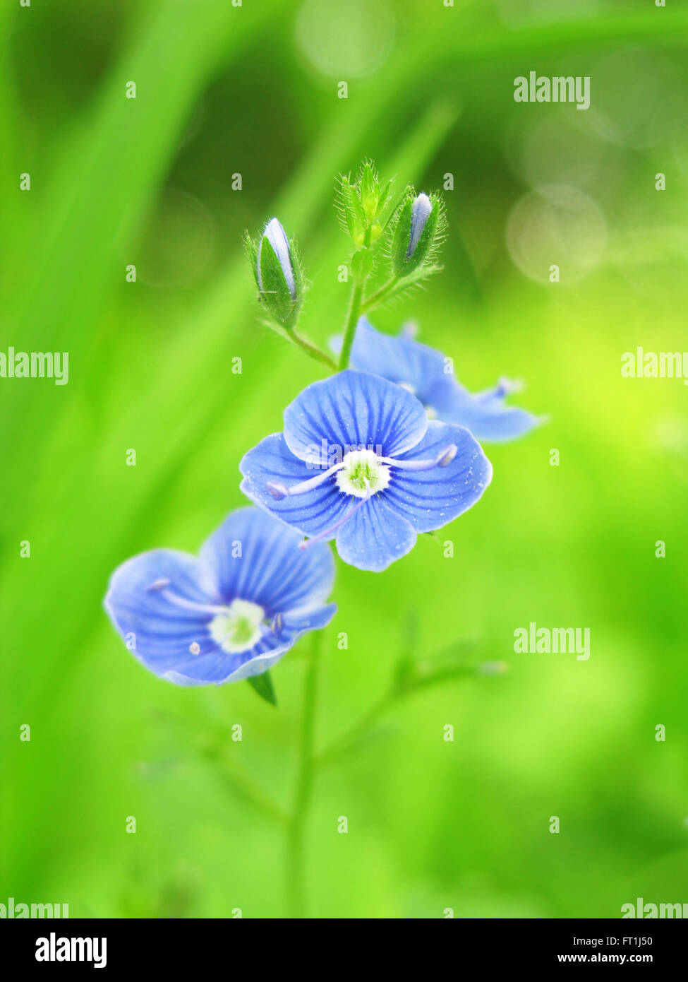 Germander speedwell against blurry background - Stock Image