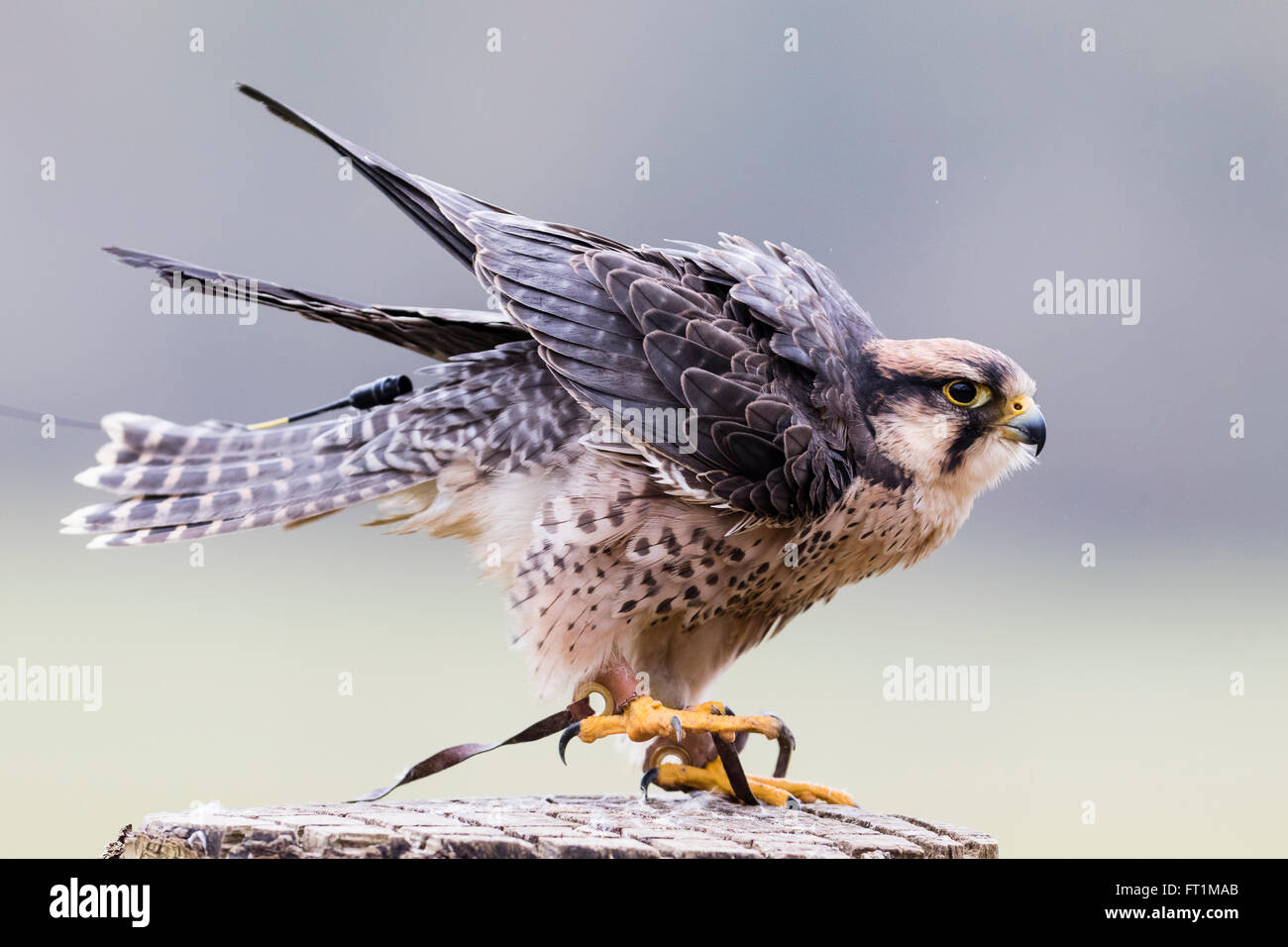 A  Lanner Falcon (Falco biarmicus) at Batsford Falconry Centre Gloucestershire - Stock Image