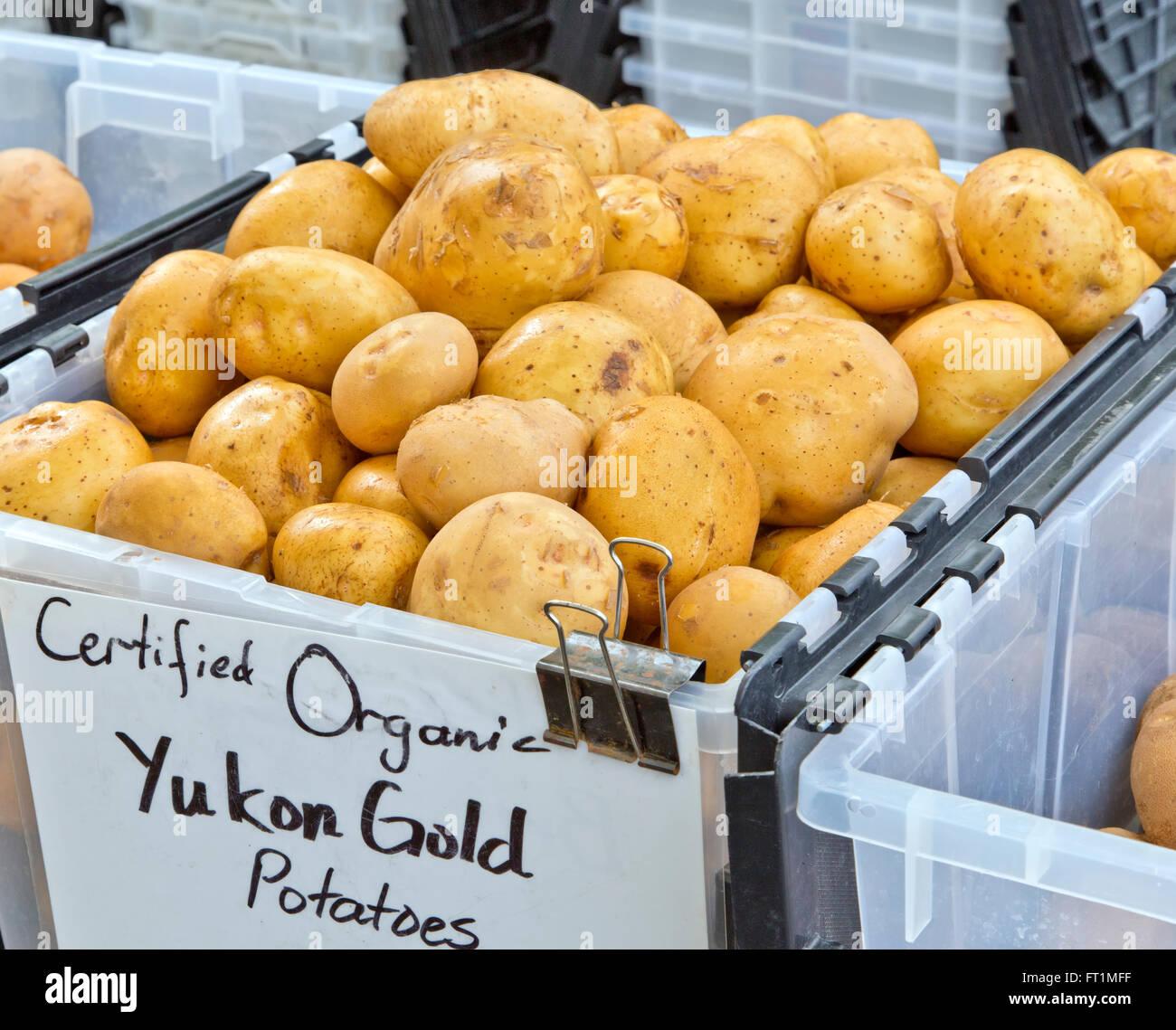 Organic potatoes 'Yukon Gold', Anchorage Farmer's Market, 'Solanum tuberosum'. - Stock Image