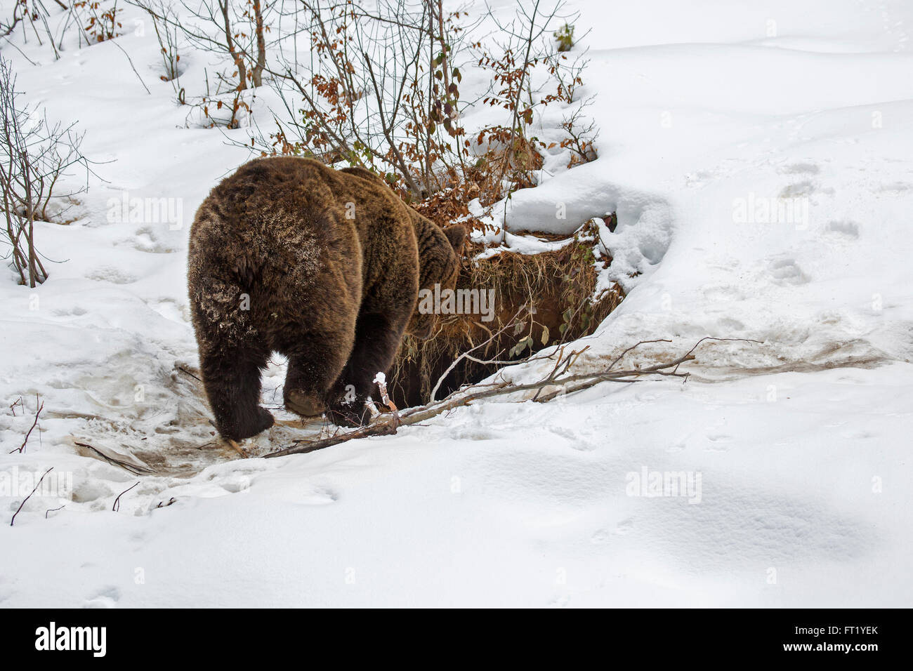 Brown bear (Ursus arctos) entering den in the snow in autumn / winter Stock Photo