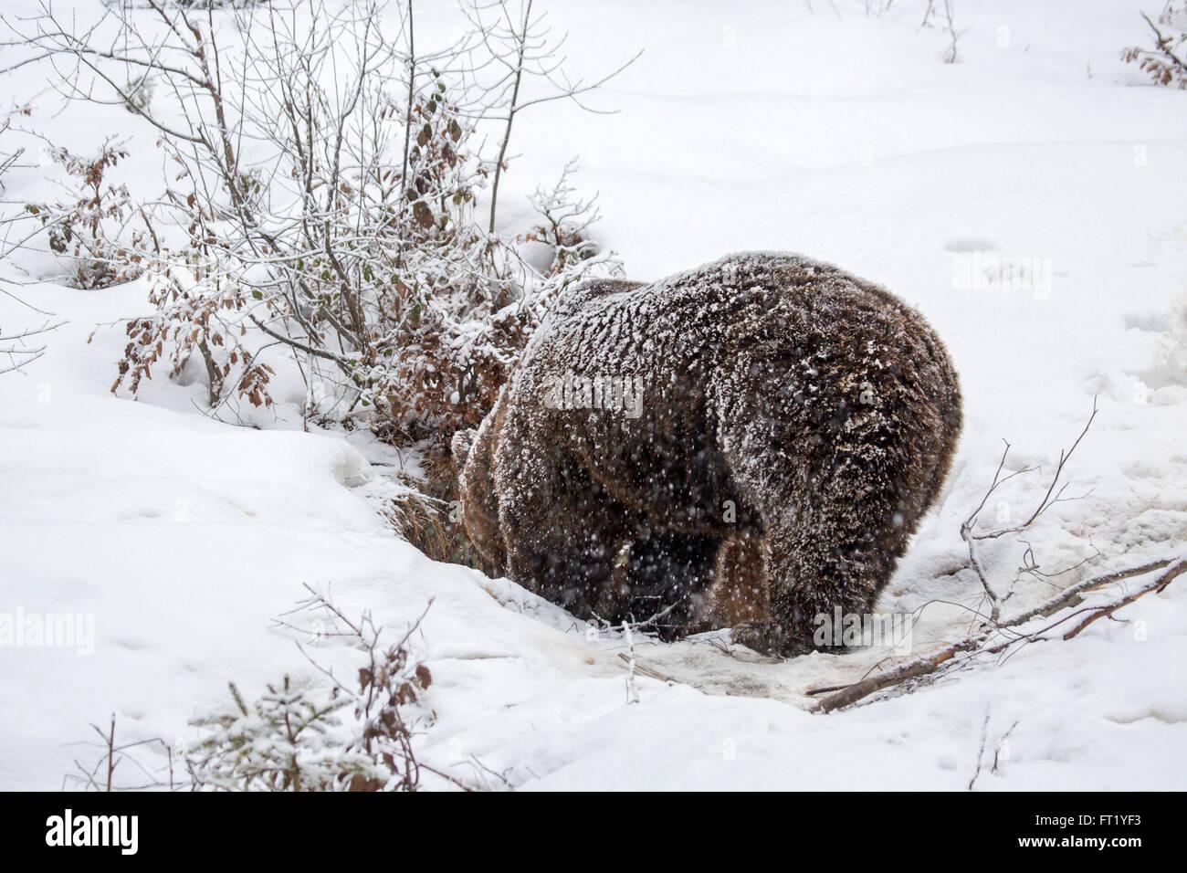 Brown bear (Ursus arctos) entering den during snow shower in autumn / winter - Stock Image