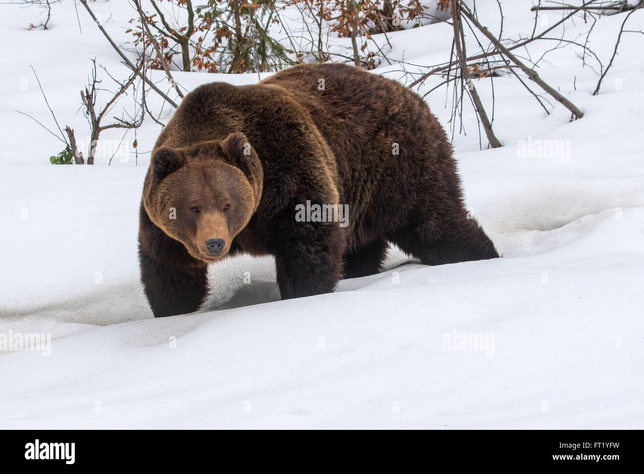 Brown bear (Ursus arctos) walking in forest in the snow in winter / autumn / spring - Stock Image