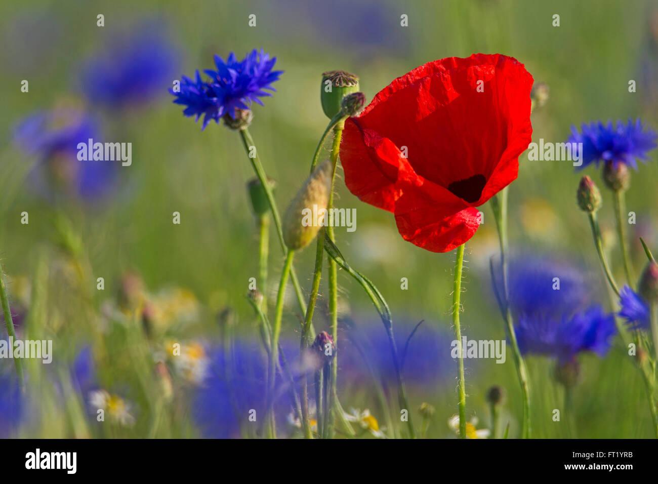 Corn poppy / red poppies (Papaver rhoeas) and cornflowers / bluebottles (Centaurea cyanus) flowering in meadow in summer Stock Photo