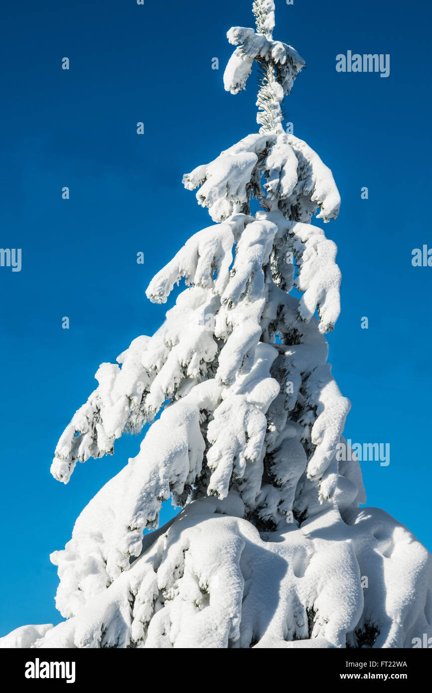 Morning after heavy snowstorm showing pine trees under heavy snow cover - Stock Image