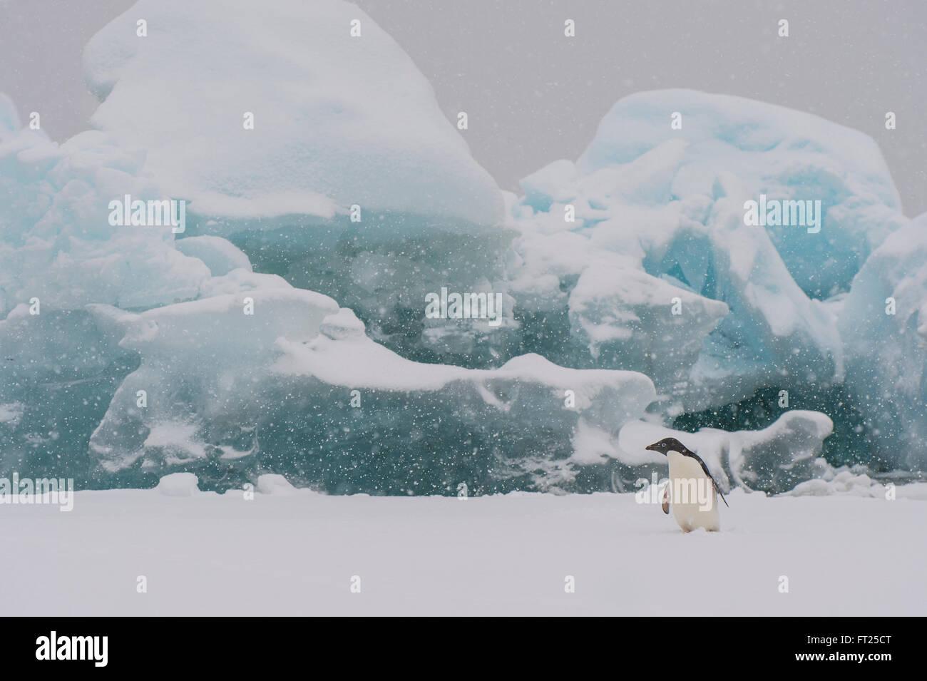 Adelie Penguin on an Iceberg Stock Photo: 100851768 - Alamy